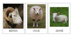 Here's a set of cards showing different animals families. Use for life cycle lessons to describe animals that have simple life cycles (no metamorphosis). Science Topics, Science Biology, Science Ideas, Baby Sheep, Sheep And Lamb, Farm Animals, Animals And Pets, Life Cycle Stages, Preschool Boards