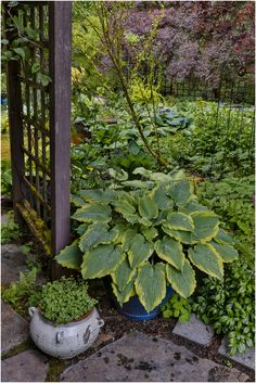 Spartacus Hosta in Container Outdoor Plants, Outdoor Decor, Spartacus, Grasses, Beautiful Gardens, Perennials, Stepping Stones, Container, Lawn