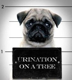 Busted! Fun fact: A group of pugs is called a puggle. Actually, I'm not sure that's right...