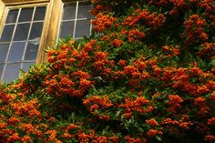 Scarlet Firethorn (Pyracantha) - native to Spain and Iran, a favorite of Cedar Waxwings. Blooms white early summer, tolerates shade and drought. A rapid grower, it can grow to a height of 8 feet, zones 5-8. Thorny, not poisonous