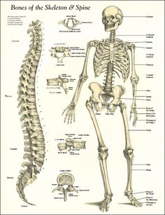 Human Bone Structure Diagram Prs Hfs Wiring Detailed Skeleton Diagrams Health Medicine And Anatomy Spine Vintage Bones Of The Poster Laminated 17 X 22