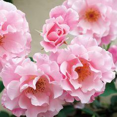スパニッシュ ビューティー Spanish Beauty 【国産ノイバラ台木使用】 | つるバラ | コマツガーデンオンラインショップ