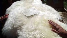 How to Tan Sheepskins How To Tan, Curtido, Survival Skills, Shag Rug, Crafty, Cattle, Powder, Stains, Videos