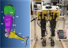 Universidad de Arizona desarrolla robot que imita perfectamente el caminar humano