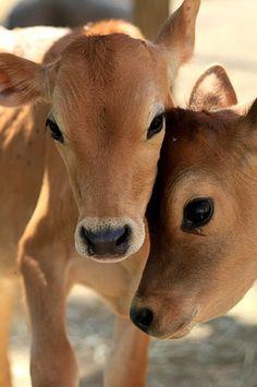 Who said cows aren't cute?