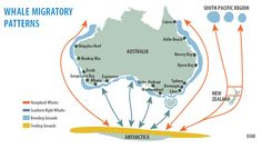 Humpback and Right whale breeding, feeding and migration routes whale | NSW Environment & Heritage