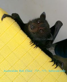 Micro critters rescued as tree home crashes - BATs-Mega-n-Micro