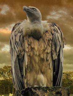 Griffon Vulture by esmeralda