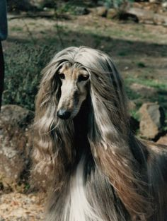 Via Peter Frost,Facebook  Aust.Ch. Dzum Pictures O'Lilly has been added to the Dzum Afghan Hounds Hall of Fame