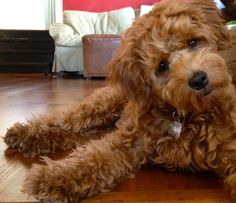 Oh God - the amount of cuteness this goldendoodle has... I can't handle it!!!!
