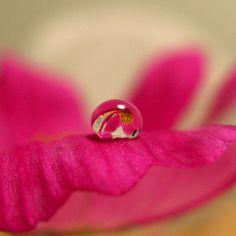 goutte d'eau - rose - pétale