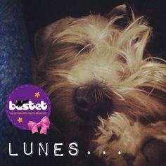 #Schnauzer #dogs #bastetpets