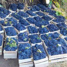 Grape harvest in Iran Iran Food, Fruits Photos, Persian Culture, Fruit Photography, Fruit Plants, Wine Time, Detox Tea, Detox Drinks, Amazing Architecture