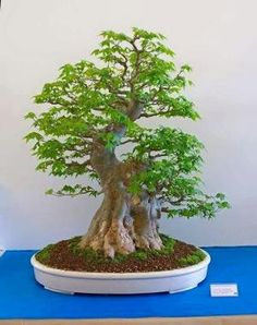 he word bonsai is most closely associated by most with the growing of miniature trees, and although this is somewhat accurate, there is a lot more to it than that. A bonsai is not a genetically overshadowed plant Bonsai Tree Care, Bonsai Tree Types, Indoor Bonsai Tree, Mini Bonsai, Bonsai Plants, Bonsai Garden, Bonsai Trees, Acer Bonsai, Maple Bonsai