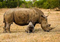 Rhino curiosity.