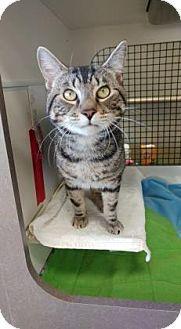 Philadelphia, PA - Domestic Shorthair. Meet Polo, a cat for adoption. http://www.adoptapet.com/pet/18048033-philadelphia-pennsylvania-cat