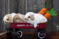 Baby Holland lops in a wagon. Photo by Hook's Hollands Ohio Holland Lops.