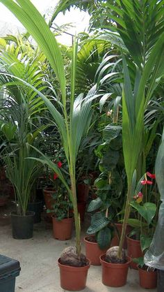Cocos nucifera - Coconut