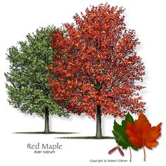 Red Maple Texas native, reliable fall color, attractive seeds or fruit Features:Flowers and winged fruits in spring are red. Brilliant fall color, yellow to red. Comments: 'Drummond' is a good nursery selection. Problems:Not drought or salt-tolerant.