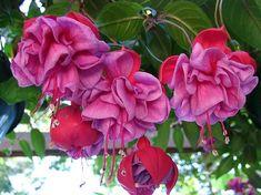 csüngő fukszia Fuchsia Flower, Rose, Flowers, Plants, Garden Ideas, Animals, Pink, Plant, Landscaping Ideas