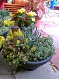 HeyPlantMan! Exotic Tropical Plants from St. Pete FL: Succulent July Madness !