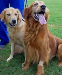 These are Eliza (3) & Higgins (5). They have been on their own for a while and both of them are heartworm positive. They are spayed and neutered, potty trained and up to date with vaccinations. They would do best in a home with older kids and they both need obedience class. They are a bonded pair and need to be adopted to a forever home together and are at Adopt A Golden Atlanta.