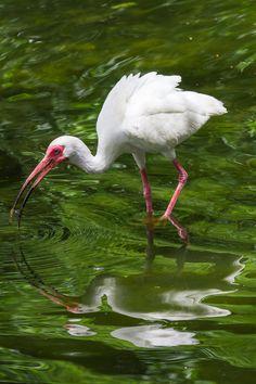 White Ibis, Everglades, Florida, US / by Thelma Gatuzzo