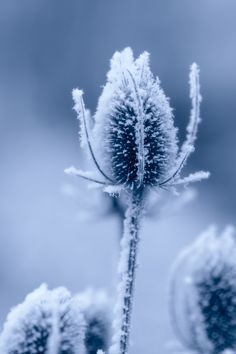 Icy and Spiky, by Olaf Holland. Cheap Plane Tickets, Profile Photo, Olaf, Holland, Dandelion, Wallpaper, Flowers, Nature, Winter
