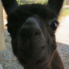 Up Close and Personal Llama Llama, Cutest Animals, Funny Animals, Farm Animals, Animals And Pets, Alpaca Gifts, Homestead Farm, Ostriches, Nature