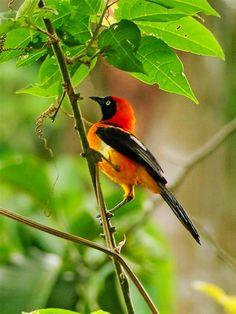 The Orange-backed troupial (Icterus croconotus) is a species of bird in the Icteridae family.