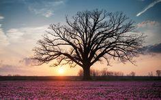 300+ years old burr oak tree