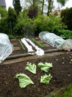 Rhabarberkuchenzeit – Schneckenschutz mit den Blättern -