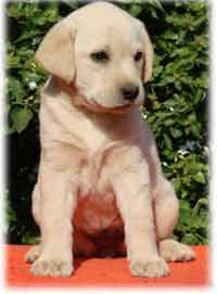 Picture of the Week Pocket Beagle Puppies, Beagle Puppy, Pictures Of The Week, Labrador Retriever, Dogs, Animals, Labrador Retrievers, Animales, Animaux