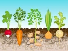 Root Vegetables Stock Vector Illustration And Royalty Free Root Vegetables Clipart Root Vegetables, Growing Vegetables, Vegetables Garden, Kreative Jobs, Projects For Kids, Crafts For Kids, Vegetable Crafts, Vegetable Gardening, Vegetable Drawing