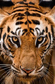 Orange Bengal Tigers Novelty Coaster Set