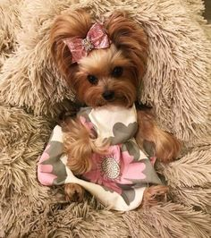 "Awesome ""Yorkshire Terriers"" information is readily available on our internet site. Read more and you will not be sorry you did. Havanese Dogs, Yorkie Puppy, Pet Dogs, Doggies, Yorkshire Terrier Dog, Baby Animals, Cute Animals, Yorky, Dog Dresses"
