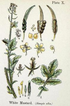 "biomedicalephemera: "" Medieval Medicine: Sinapis alba - White Mustard Medicinal use: Gout (as a salve, mixed with grease or wax, depending on book), scorpion stings (when ground with vinegar) Other. Flowering Plants, Planting Flowers, Mustard Plant, Edible Wild Plants, Wild Edibles, Gout, Romanesque, Medicinal Plants, Scorpion"