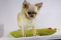 Chihuahuas Love - Saber de Chihuahuas en Todo El Mundo. Chihuahuas Blog.