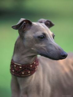 Whippets... The most gorgeous, elegant, kind and gentle dogs