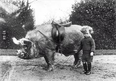 Cerdo 1930.