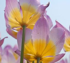 More than any other group of tulips, the brightly colored species tulips are the best choice for Southern gardens.