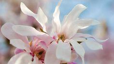 leonard magnolia
