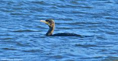 Great cormorant in the Delaware River at Bristol. Incredible the resilience of these birds, considering the temperature outside was 21 F/-6C. The marsh was frozen with ice so the water temp had to be closing in on the freezing point.