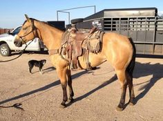Buckskin Ranch Mare for Sale - For more information click on the image or see ad # 36008 on www.RanchWorldAds.com
