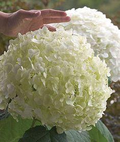Hydrangea Incrediball ™, Incrediball Hydrangea, Hydrangea Seeds, Hydrangea Shrub, Hydrangea Quercifolia, Hydrangea Bloom, Hydrangeas, Farmhouse Landscaping, Landscaping Plants, Burpee Seeds