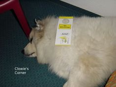 Carry on socialising - Clowie, Pyrenean Mountain Dog, sleeping