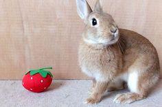 ICHIGO san with TOMATO いちごさんとトマト rabbit bunny netherlanddwarf brown cute pet family ichigo ネザーランドドワーフ ペット いちご うさぎ トマト tomato