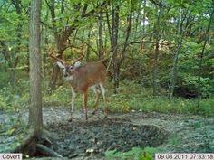 Find Big Bucks With Mineral Licks on http://www.deeranddeerhunting.com