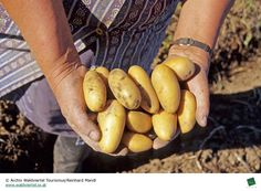 """Waldviertler Erdäpfel"" - Niederösterreich//Potatos from the ""Waldviertel"" - Lower Austria Austria, Beans, Vegetables, Places, Apple, Woodland Forest, Beans Recipes, Vegetable Recipes, Prayers"