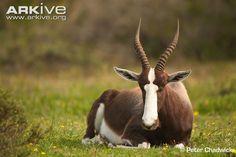 Bontebok Antelope   Bontebok videos, photos and facts - Damaliscus pygargus - ARKive